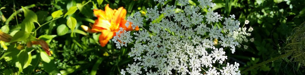 Image of Queen Anne's Lace and Lilies